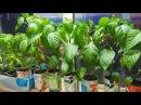 Как я выращиваю здоровую и сильную рассаду перца без пикировки.Посев 11 февраля