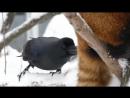 Красная панда и первый снег.