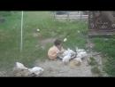Детская песенка - Мои цыплятки