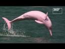 Дельфин Пинки