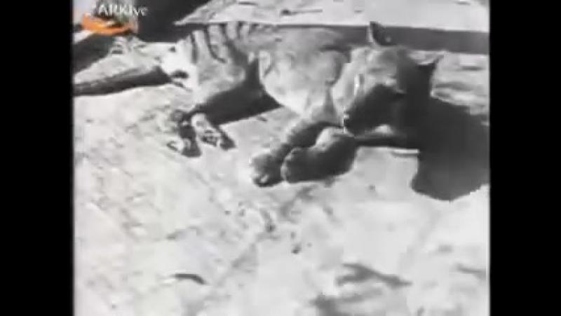 Последняя съёмка сумчатого волка (тилацина).mp4.mp4
