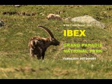 A Day Amongst The IBEX of Grand Paradis National Park Fabulous Outdoors