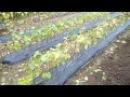 Саженцы винограда. Выкопка из школки 2016