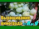 Выращивание винограда от А до Я