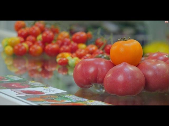 Новое поколение томатов для теплиц.