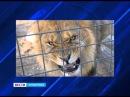 В Кувандыке лев напал на человека