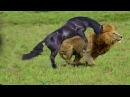 Wild Animals 2017 Bear Vs Animals Leopard Tiger Anaconda Dog wildebeests Seal 베어 대 동물
