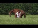 любэ конь carrying on the shoulders a horse the weight of 450 kg · coub, коуб