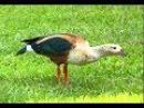 El Pato Carretero en peligro de extinción