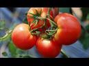 Пять способов ухода за томатами-Чтобы томаты не жировали