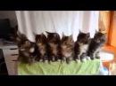 Смешные котята - Синхронный танец