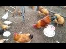 Устройство курятника Переселение цыплят в курятник