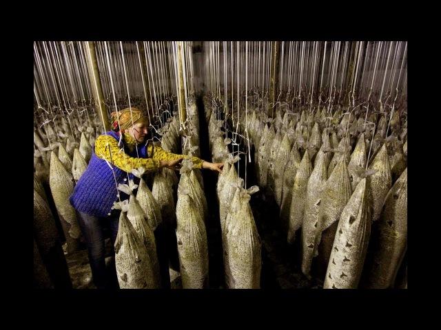 Выращивание грибов вешенка как идея для бизнеса