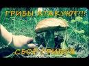 Сбор грибов 2 Лисички Белые грибы Подберёзовики Лес Жизнь в деревне