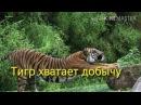 ЦИГУН Игры 5 животных Тигр хватает добычу