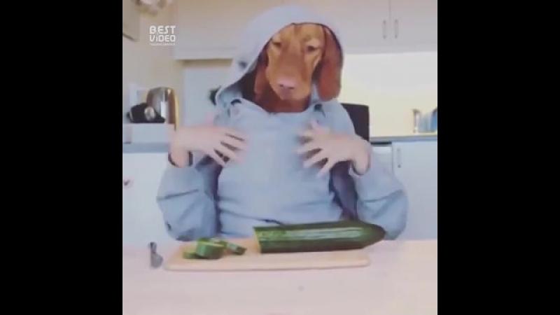 Собака нарезает огурец