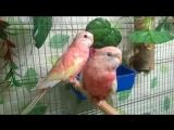 Мои розовобрюхие попугаи