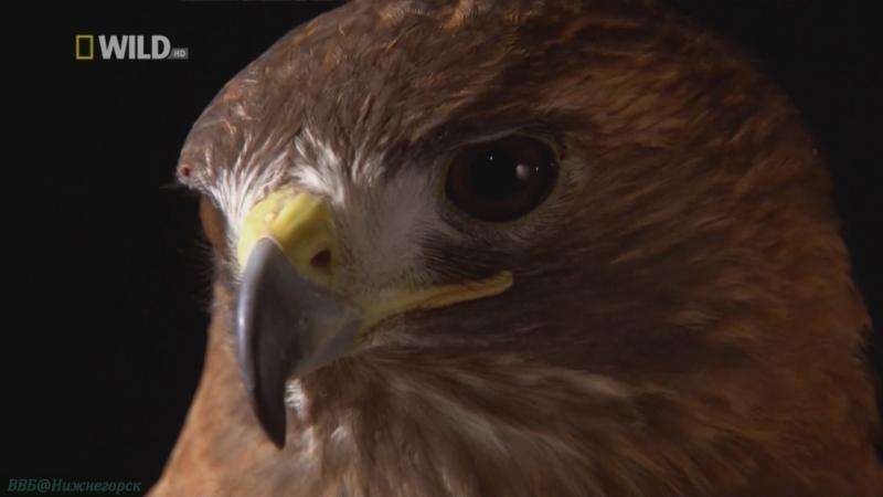 «Сила хищных птиц» (Документальный, природа, животные, 2006)