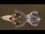 Ягуар и крокодил, парадокс
