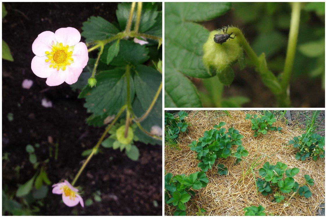 Основные ошибки при выращивании садовой земляники (клубники)