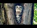 Североамериканская совка / Eastern Screech-Owl / Megascops asio
