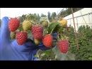 Малина в Беларуси ХИМБО ТОП ремонтантный сорт с высочайшей урожайностью