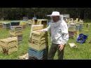 Australian Honeybee - How to make a new honeybee colony (Split)