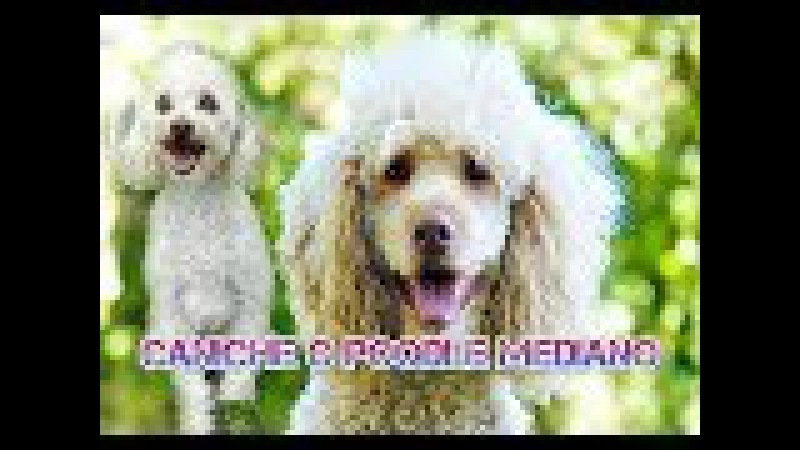 Caniche o poodle mediano