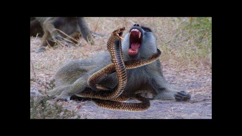 Vua Khỉ Đại Chiến Hổ , Báo , Rắn - Trăn Khổng lồ Bắt Trộm Bò Có cái kết - Snake vs Monkey