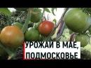 Выращивание ранних помидоров Урожай в мае-часть2