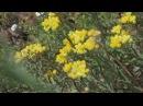 Бессмертник Лекарственные растения Immortelle Medicinal herbs