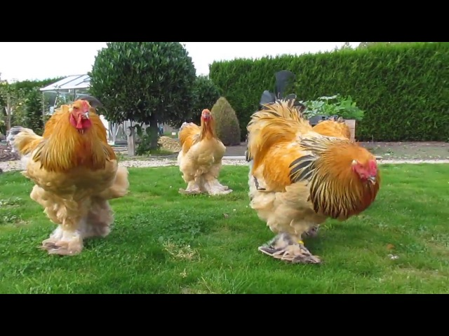 Bad boys ... buff columbian brahma roosters born in april