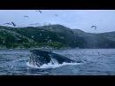 Vengsoya Orcas and Humpback whales