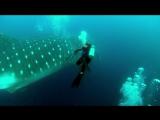 Китовая акула и человек ! Китовая акула  - самая большая рыба в мире!