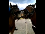 Лошадки милуются