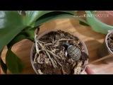 Пеньки орхидей, моя новинка ваниль и еще немного орхидеек )