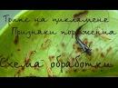 ЦИКЛАМЕН(Cyclamen) Трипс - вредитель цикламена. Признаки поражения. Обработка от три ...