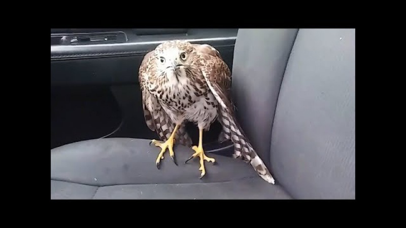 Hawk hides from Hurricane Harvey in taxi, refuses to leave