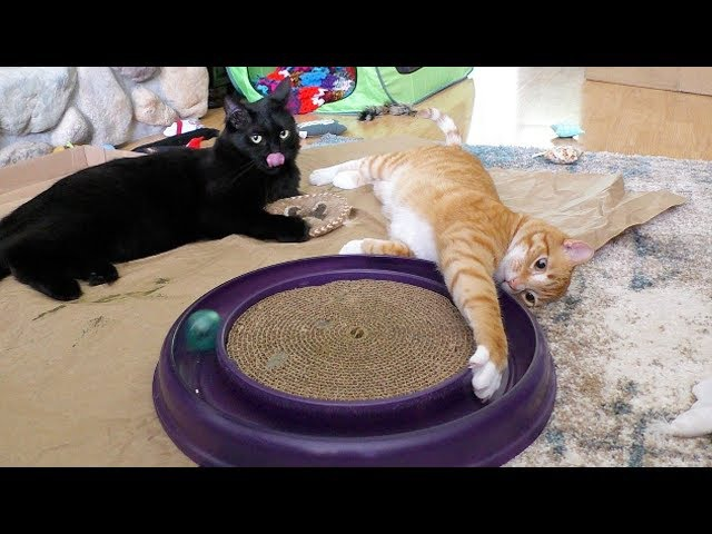 Funny Cat Playing with Starchaser Toy!