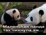 Маленькая панда чихнула)Супер прикол про панду!