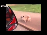 A Faithful Dog Chases Ambulance After Owner Is Rushed To The Hospital