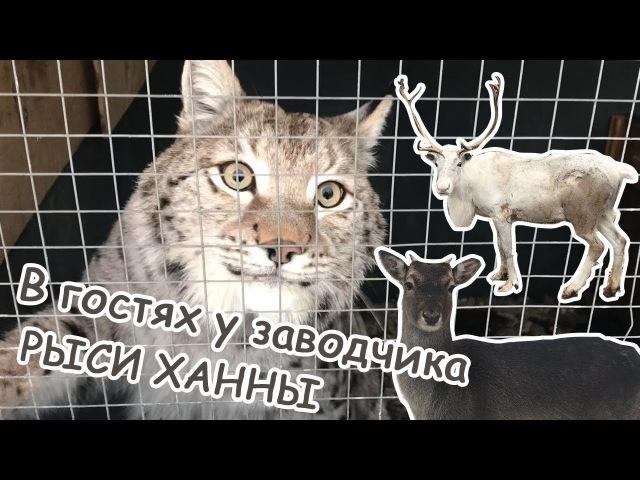 В гостях у заводчика Ханны Волкособы, северные олени, лани, полярные совы, аркт...