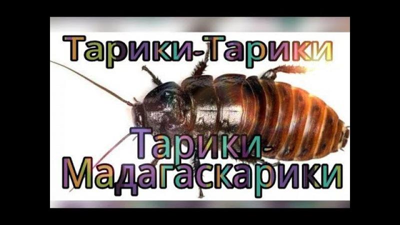 Мадагаскарский таракан линька/ТАРИКИ-МАДАГАСКАРИКИ