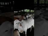 Vacas en el corral, MFZ