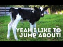 Rescued Dairy Calf Jumps for Joy