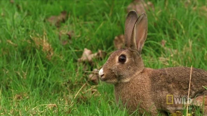 Горностай гипнотизирует Кролика ...