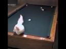 Куриный бильярд