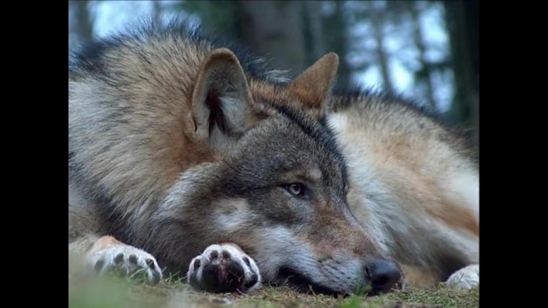 Александр Розенбаум - Одинокий Волк