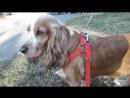 Английский Кокер Спаниель собака