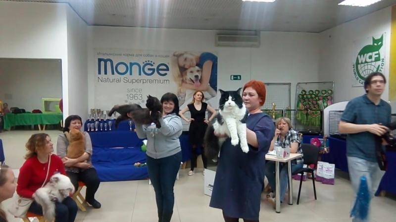 Победительница в Best Opposite sex (Лучшая взрослая кошка выставки противоположного пола)😘💐🙌 CH Afrika Yaroslavskaya Gordost 😺 В